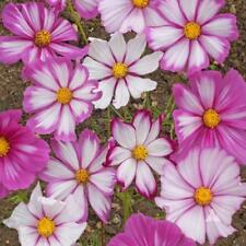 Cosmos Candy Stripe - appx 100 seeds - annual