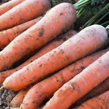 "' Carrot- Giant 2x4 Vegetable Seeds approx. 475-500 ct  (1g) up to 14"" long"