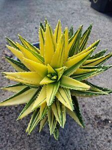 Aloe Mitiformis Variegated Rare Succulent Cactus Collectors plant🌵