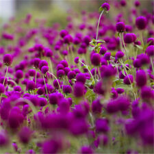 Exotic Gomphrena Globosa Seed Rare Flower High Germination Garden Supplies 30Pcs