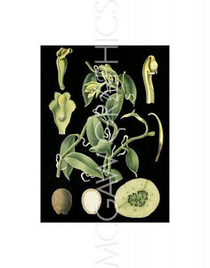VINTGE REPRODUCT-GERMAN EDUCATIONL PLATE:VANILLA PLANTIFOLIA ANDREWS-PRINT 14X11