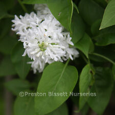 Syringa Vulgaris Madame Lemoine Very Fragrant Flowering Lilac Specimen Shrub