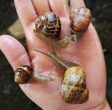 Live Land Or Garden Snails - Medium, Large, Extra Large, or Jumbo