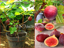 "SEEDS – UNIQUE RARE Dwarf Fig ""Khurtmani Red"" or ""Red Israel""or ""Red Palestine"""