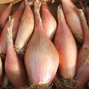 Vegetable Shallot Zebrune Appx 400 seeds