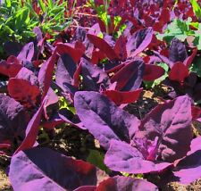 RED MOUNTAIN SPINACH EDIBLE HARDY ANNUAL SUPERB COLOUR WILL SELF SEED 30 SEEDS