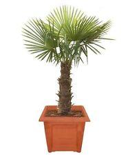 Trachycarpus fortunei, chino palma se encuentra, 20 semillas