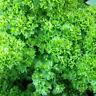 200 Pcs Moss Curled Leaf Parsley Seeds--Organic Parsley Seeds