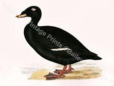 Velvet Scoter  - Game Bird ART PRINT - FREE UK P&P