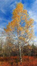 Betula papyrifera | White or Paper Birch | Canoe Birch | 20_Seeds
