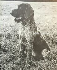 German Wirehaired Pointer 1969 Vintage Dog Photo Art Print In The Field