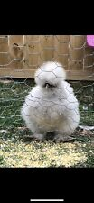 6 Silkie chicken hatching eggs - All Colors