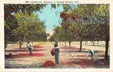 Orange County California Gathering Walnuts Antique Postcard J51790