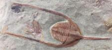 AMAZING AMPYX (LONCHODOMAS) TRILOBITE FOSSIL FROM MOROCCO (S6)