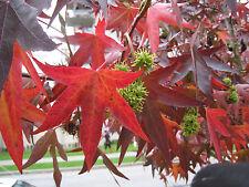 AMBERBAUM 40 Samen Liquidambar Styraciflua  Seesternbaum ähnl. Fächerahorn