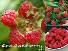 10 RED RASPBERRY Seeds (Rubus Idaeus) Sweet Fruit Tasty Garden Plant