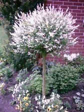 Harlekin Weide, Salix Hakuro Nishiki, Pflanze: 170-180 cm + Dünger !