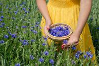 Kornblume Kommen jedes Jahr wieder schöne Garten Blume - Saatgut.