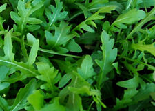 Wild Rocket Salad Seeds  Approx 1500 seeds  FREE DELIVERY