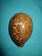 Cypraea mappa, 77.9mm lang- schönes Muster