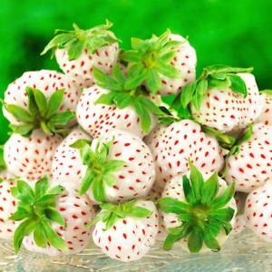 Strawberry 'Snow White' Fast Growing Bare Root Garden Bush Fruit Plants
