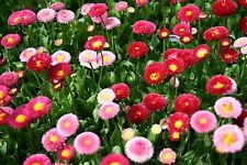 Fairy Flower Seeds  Bellis Pomponette Mixed x 100 seeds Easy and fast to Grow