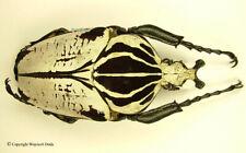 Goliathus goliatus intermedius- male, nice specimen, size 85mm, A1/A-