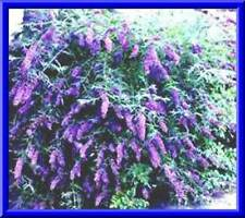 Nanho Blue Butterfly Bush! 50 Seeds! Fast & Easy to grow! comb. S/H See store!