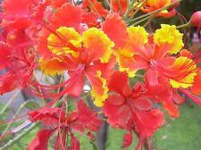 Caesalpinia pulcherrima, Pfauenstrauch, Pride of Barbados, 10 Samen