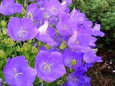 bellflower, tussock (CAMPANULA) lavender blue flower, 560 seeds! GroCo*