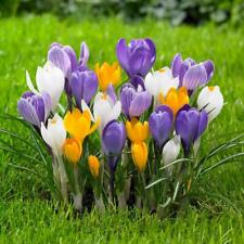 Crocus Bulbs White Yellow Purple Lilac Green Fall Plant Spring Bloom Flowers