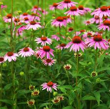 50 Echinacea Purpurea Seeds Coneflower Echinacea Ornamental Garden Flowers