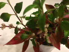 Alternanthera Rooted Plant Cuttings
