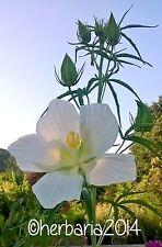 15 SEMI HIBISCUS COCCINEUS ALBA 2019 ibisco bianco seeds samen semillas graines