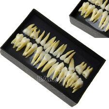 1KIT 28 PCS/SET Dental Study 1:1 Permanent Demonstration Teeth Model #7008 Italy