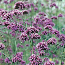 5 Verbena bonariensis AGM The Best Butterfly Bee plant scented violet flowers