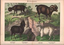 1886 Belle lithographie originale chèvres chamois mouflon animaux gravure