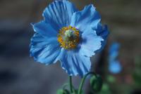 50/100 GRAINES de Pavot Bleu Himalaya du Tibet Superbe Coquelicot Fleurs