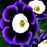 100 stk Tricolor Petunien Samen Petunia Blumen fuer Garten Balkon Ampel Pet R8M3