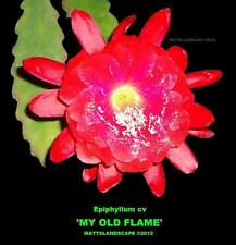 Epiphyllum ,MY OLD FLAME,1 Gal,2+in1,Plant,(S),Orchid, Blooming,Cactus,Rooted