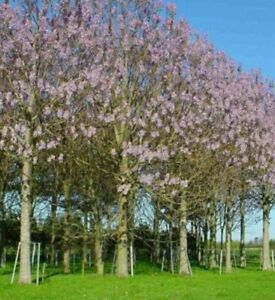 200 Samen Blauglockenbaum  Paulownia catalpifolia Kurzumtriebs Plantagen Holz