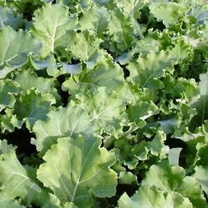 Kale 270 Thousandhead Seeds - UK Seller