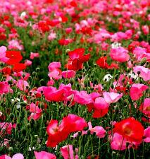 7000 GRAINES de Coquelicot Varié / Rouge Roses Blanche / Pavot