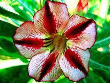 """Adenium Obesum Desert Rose """"Bondyred """" 25 Seeds"""