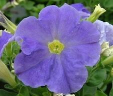50 Pelleted Petunia Seeds Carpet Sky Blue FLOWER SEEDS