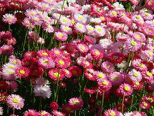 Pink & White or Paper Daisy (Rhodanthe chlorocephala) 50 Seeds