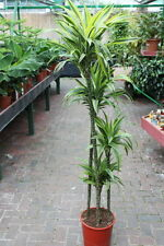Indoor Plant -House or Office Plant -Dracaena fragrans - Lemon and Lime 1.5m
