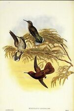 "1990 Vintage HUMMINGBIRD #s25 ""LEYBOLD'S FIRECROWN"" LOVELY GOULD Art Lithograph"