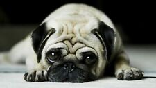 ADORABLE PUG PICTURE PRINT CANVAS WALL ART VARIOUS SIZES