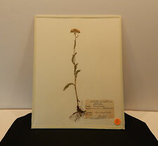 Vintage Herbarium Botanical Sweden 11x14 Preserved in Glass 1946 Ready to Frame